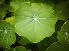 Nasturtium leaves in Swellendam