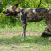 Small photo of Wild Dogs (Lycaon pictus)