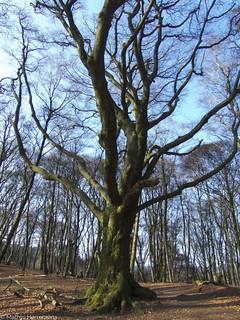 Een grote oude boom