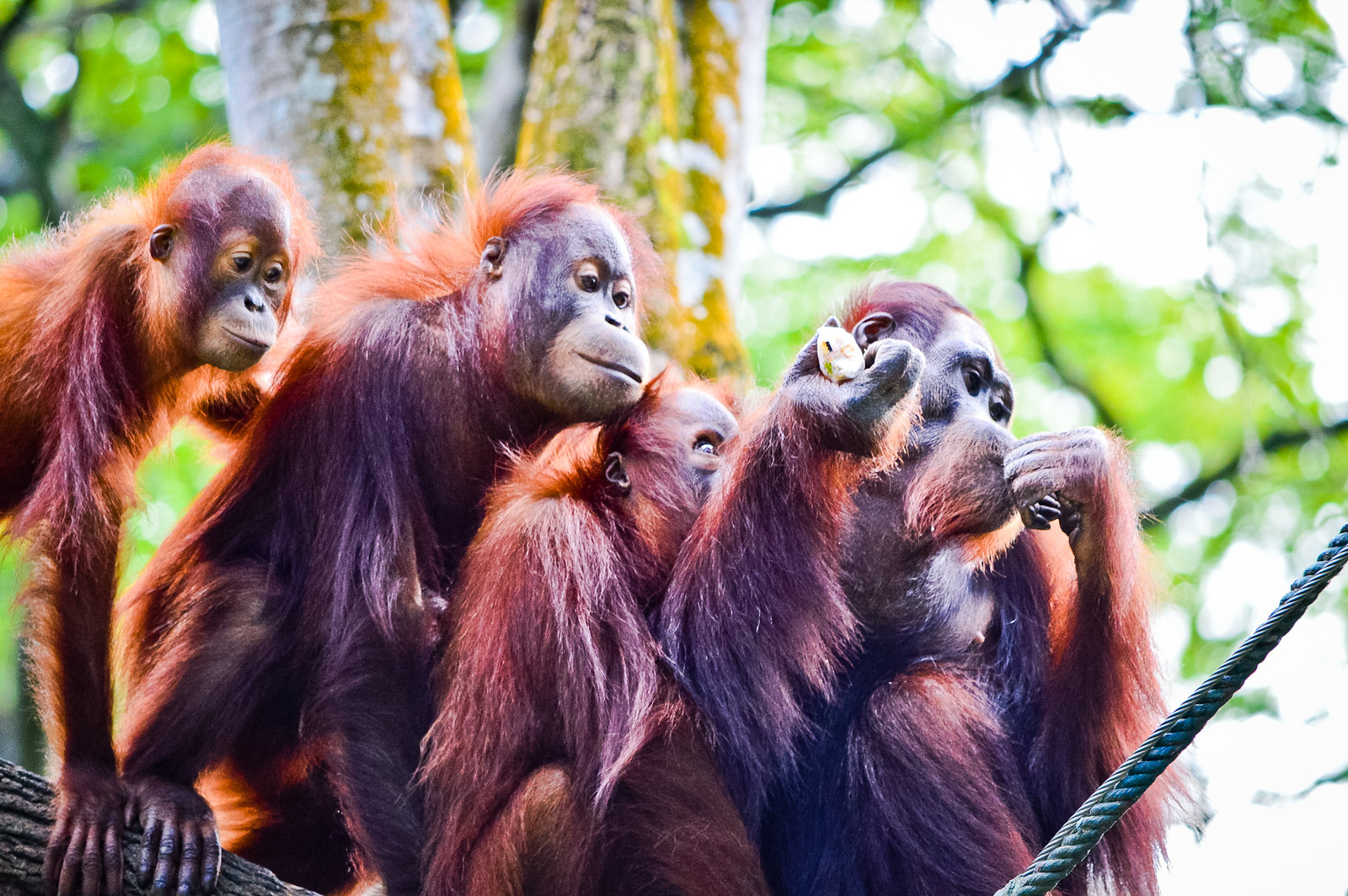The Singapore Zoo 2015 – Oh, Those Cheeky Orangutans!