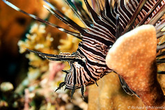 Beautyful Lionfish on a reef