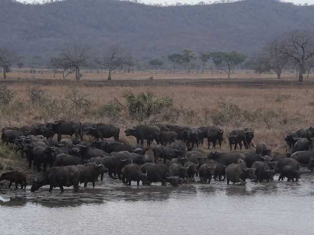Buffalo herd having a drink in Mikumi