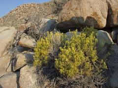 threadleaf rabbitbrush, Chrysothamnus viscidiflorus subsp. axillaris