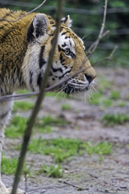 Profile of a tiger behind the branch