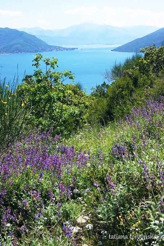 Цветущий шалфей в горах