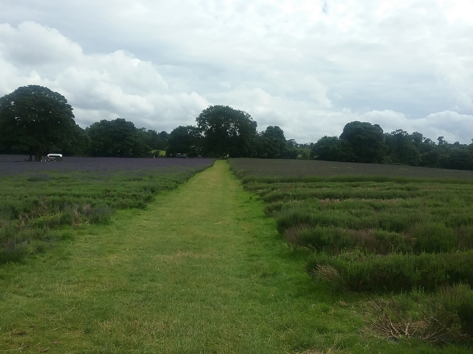 20160630_155656 Public footpath across Mayfield Farm lavender fields