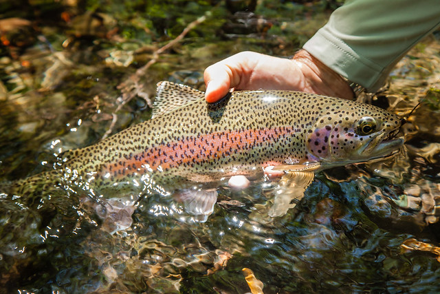 Rainbow trout fly fishing on the mckenzie river flickr for How to fish for trout in a river