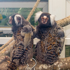 Two Baby Marmosets
