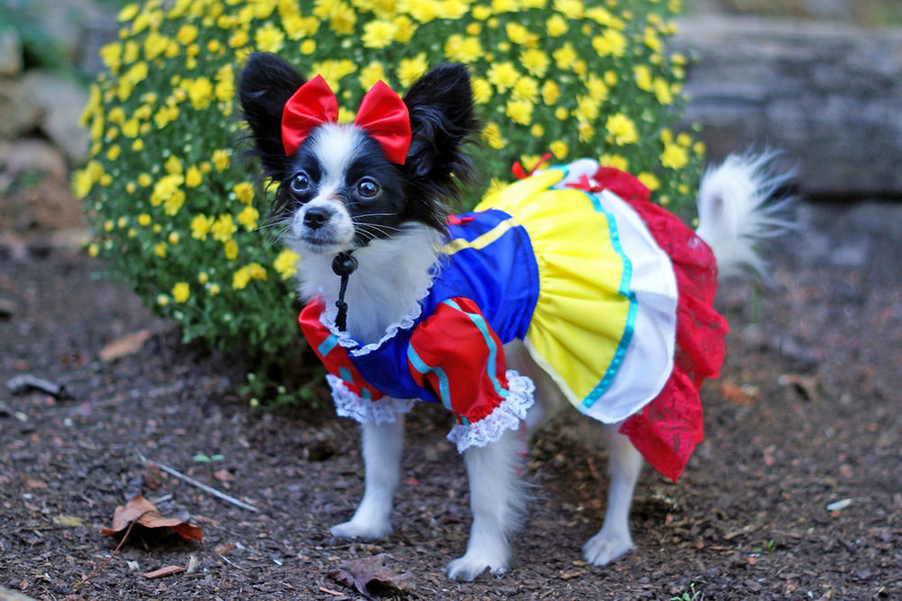 Little Snow White Dog
