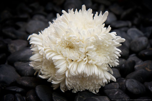 White chrysanthemum bouquet flickr photo sharing