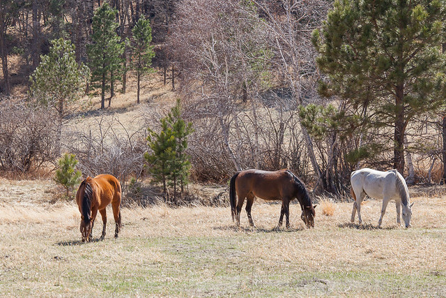 Horses in Custer State Park