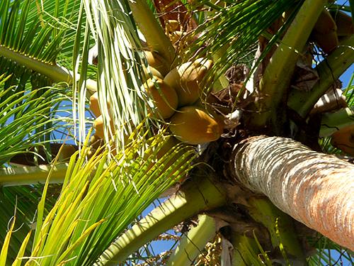 coconutpalmA