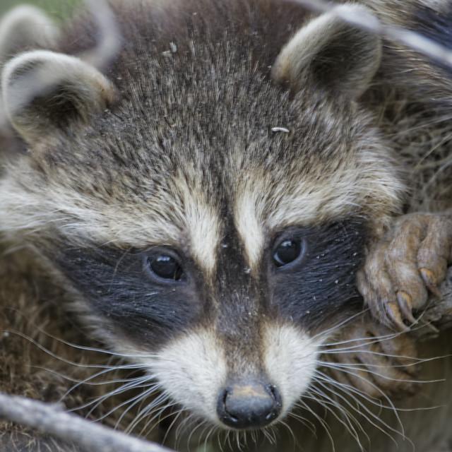 R Is For Raccoon Raccoon kit | Flickr -...