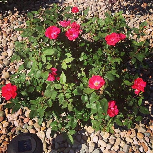 Loving my knockout roses!