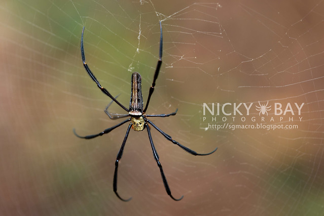 Golden Orb Weaver (Nephila sp.) - DSC_7128