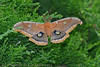 Polyphemus Moth by fbc57