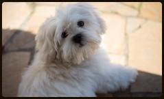 bichon frisã©(1.0), dog breed(1.0), animal(1.0), dog(1.0), schnoodle(1.0), pet(1.0), coton de tulear(1.0), lã¶wchen(1.0), tibetan terrier(1.0), bolonka(1.0), havanese(1.0), lhasa apso(1.0), morkie(1.0), bichon(1.0), chinese imperial dog(1.0), maltese(1.0), bolognese(1.0), shih tzu(1.0), carnivoran(1.0),