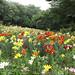Lilies field... by Arlenk.
