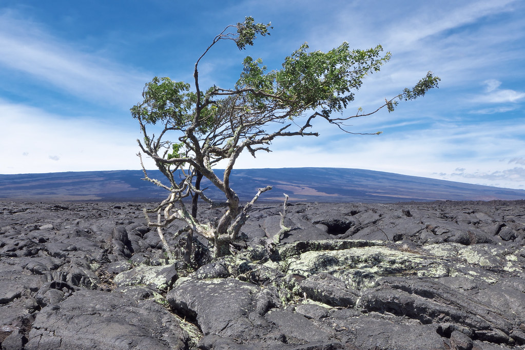 Lone tree in lava #2