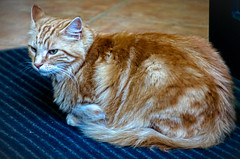 domestic long-haired cat, animal, maine coon, small to medium-sized cats, pet, mammal, european shorthair, siberian, cat, whiskers, manx,
