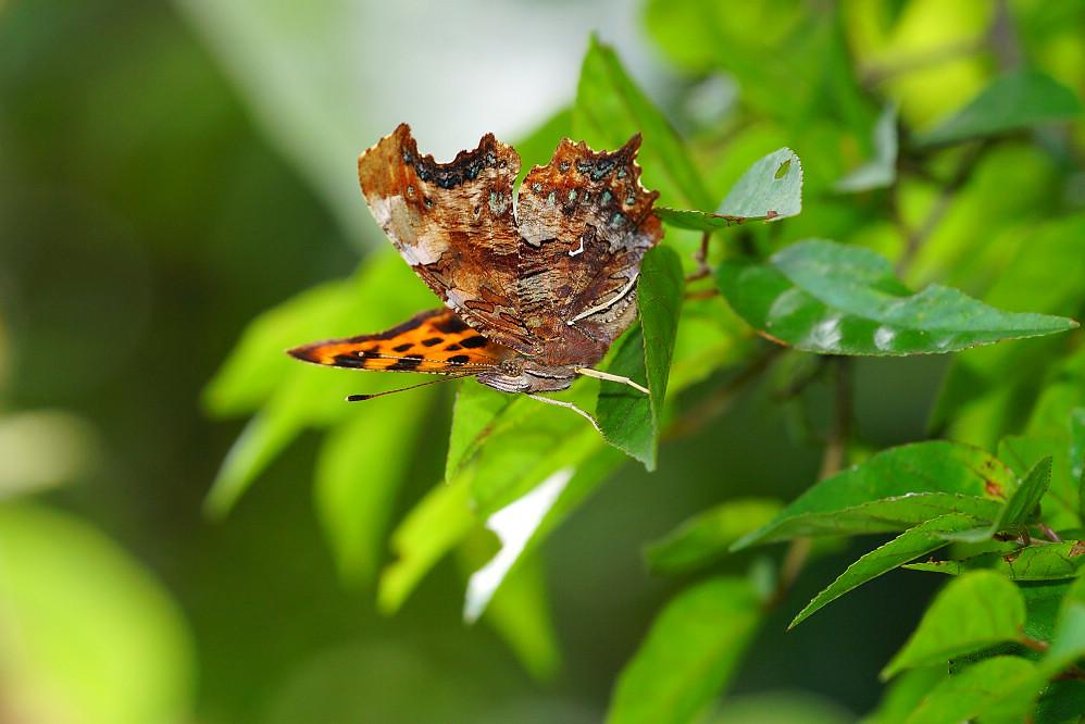 鉤蛺蝶屬突尾鉤蛺蝶-2