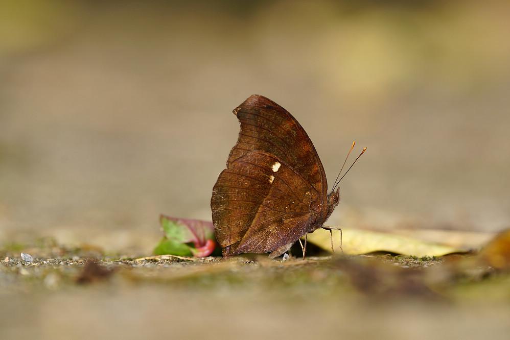眼蛺蝶屬黯眼蛺蝶-1