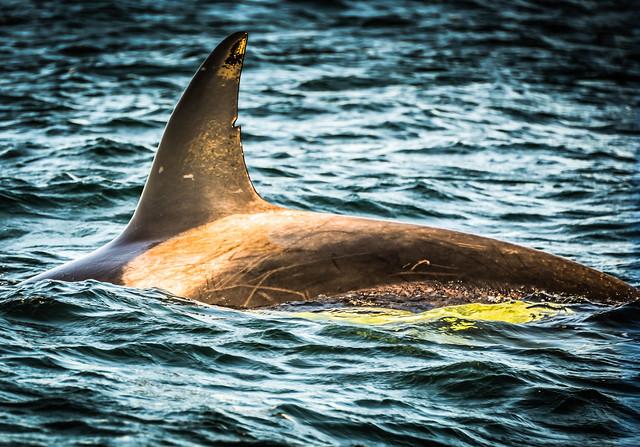 Orca Killer Whale in the Strait of Juan de Fuca - Sidney Island BC Canada