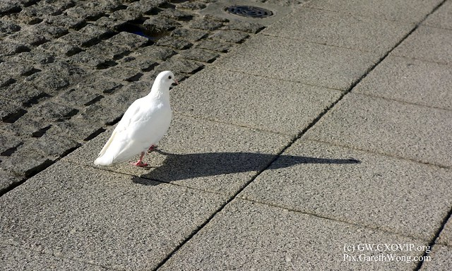 lone White pigeon glancing back at me with shadow and rock textures _DSC5224