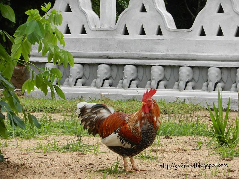 Шри Ланка, символ страны - петух