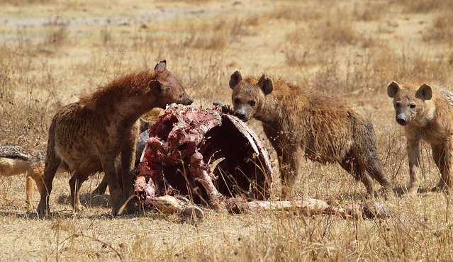 Hyenas Are Nature S Trash Cans