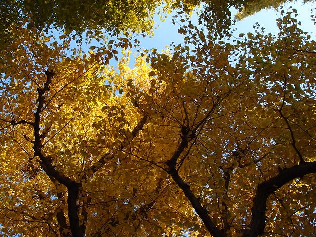 Gingko trees @ Gingko Avenue @ Meiji Jingu Gaien