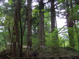 滝尾神社・神木(三本杉)