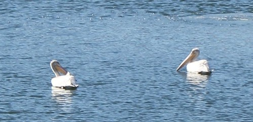 American White Pelicans on Parmer Village Pond - 1
