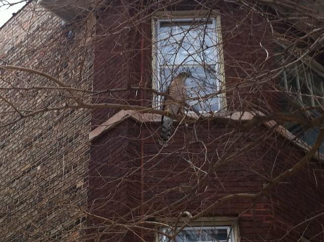 Cooper's hawk, closeup