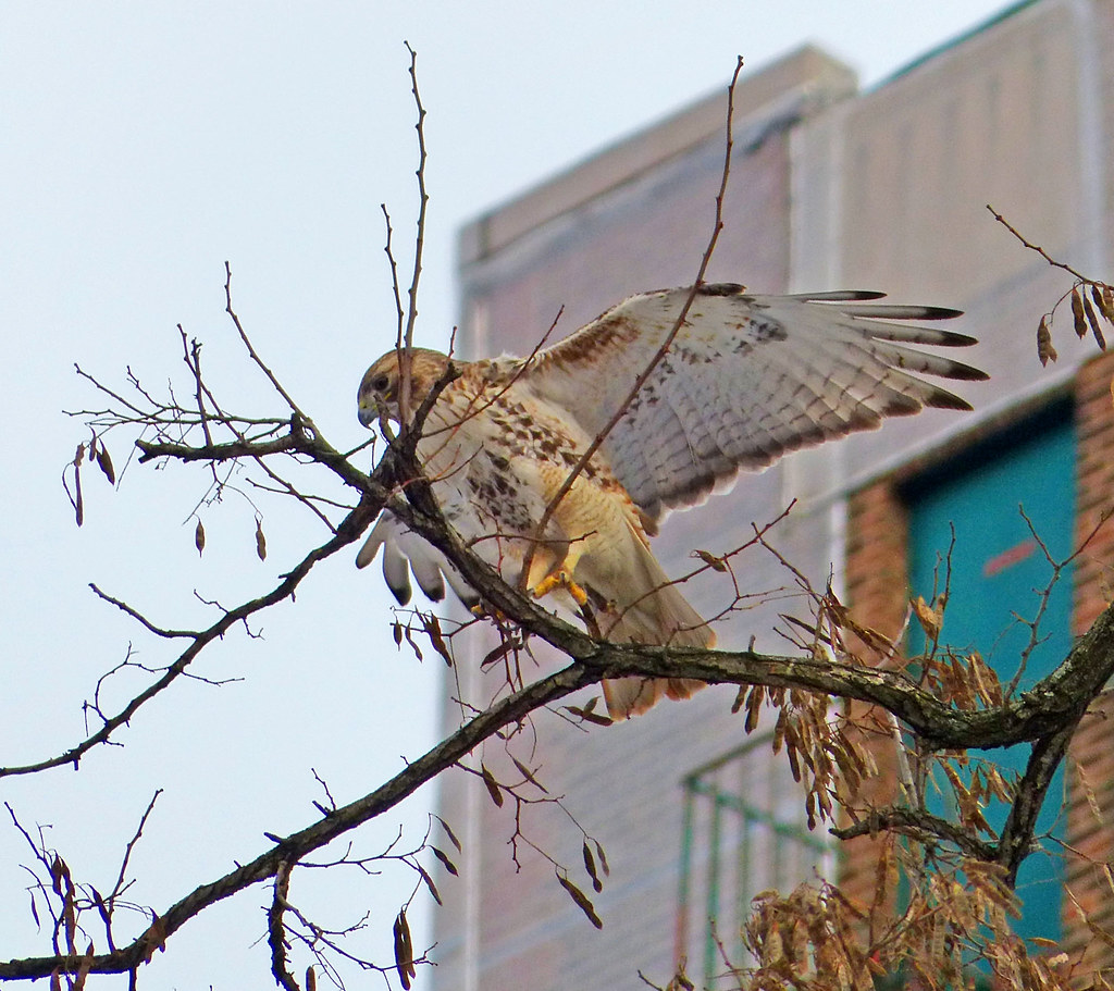 Adult red tail collecting twigs in Tompkins Square
