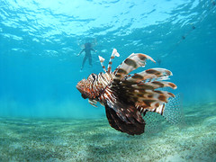 Lionfish are a very common encounter while diving in Naama Bay