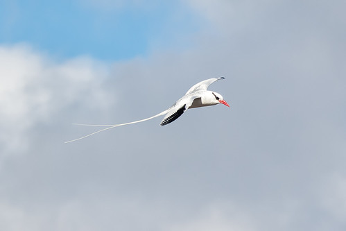 Red-billed Tropicbird on Galapagos - Ecuador