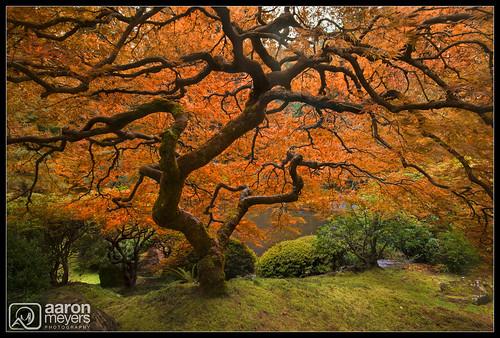 autumn orange tree fall nature wet water oregon garden portland landscape japanese japanesegarden moss maple nikon pretty unitedstates pacific northwest scenic japanesemaple pacificnorthwest pnw columbiarivergorge d800 nikond800