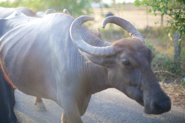 Water Buffalo on the road