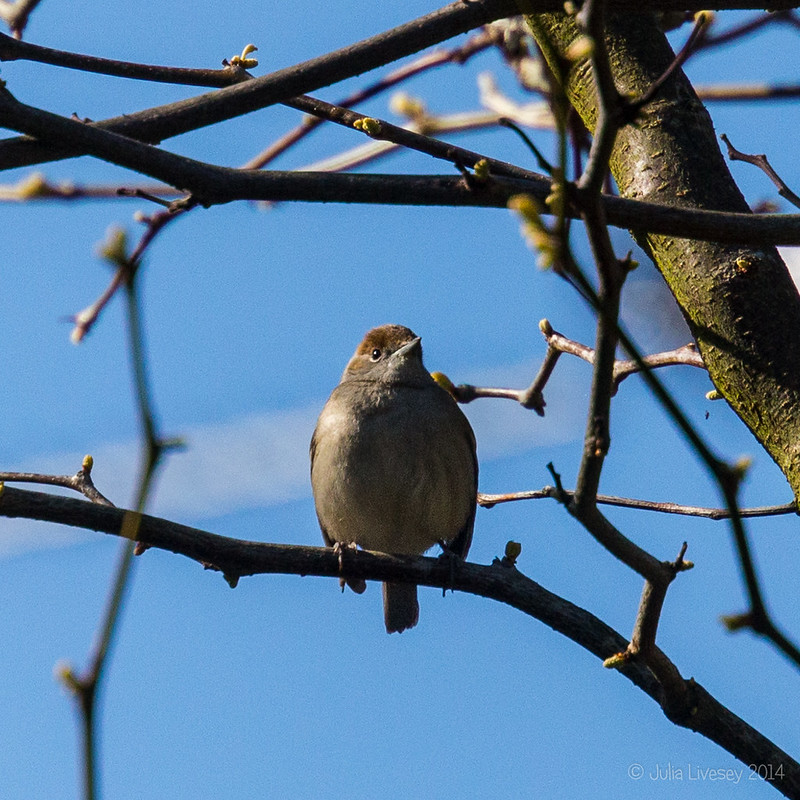 Looks like the female blackcap has made an appearance