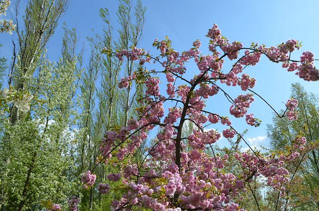 Berlin Cherry Blossom Festival Kirschbluetenfest Gaertens der Welt Erholungspark Marzahn_pink cherry blossom tree against blue sky