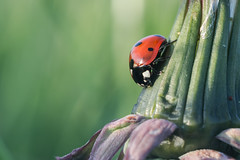 Ladybird (Coccinellidae)