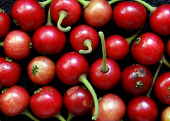 Strawberry Tree  #4: FRUIT