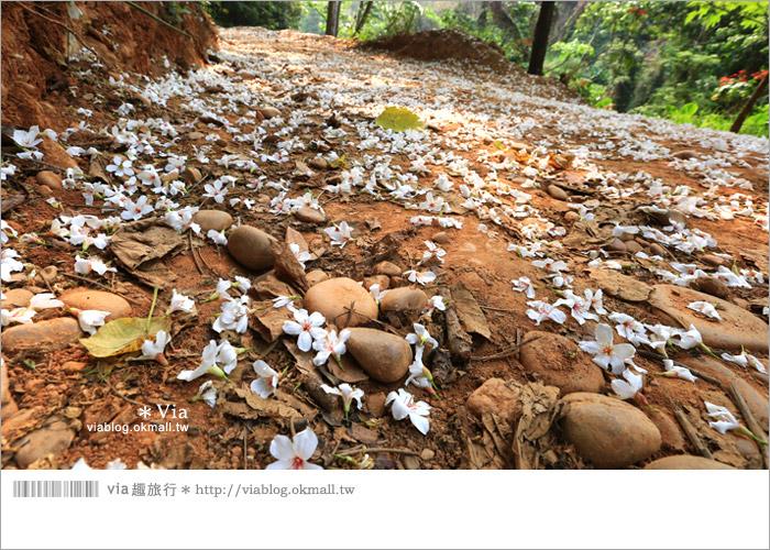 【彰化油桐花】福田桐花生態園區~雪白花毯!每年都會想再回訪的賞桐景點6