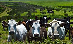 Halving meat and dairy consumption could slash farming emissions