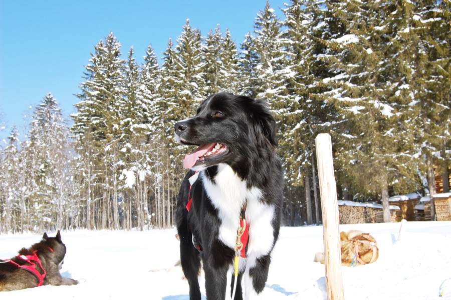 Balade chiens de traineau chiens de traineau (18)