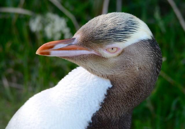 Yellow-eyed penguin, Otago, New Zealand.