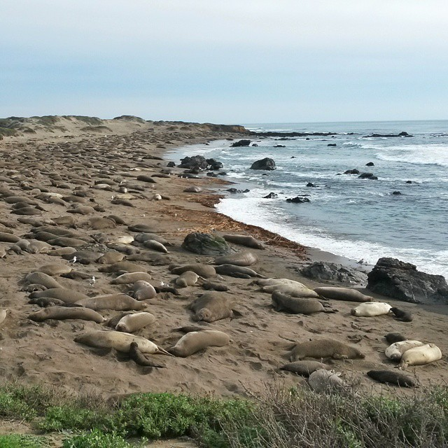 sea elephants, highway 1, San Simeon, California