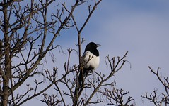animal, branch, nature, fauna, eurasian magpie, bird, wildlife,