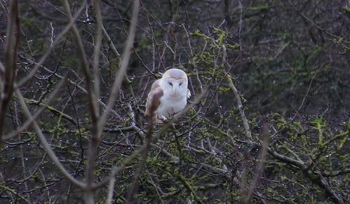 Barn Owl Tyto alba Tophil Low NR, East Yorkshire January 2015